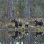Contemplar osos en Wild Taiga es una experiencia única.