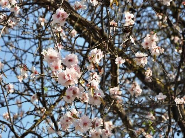 Entre enero y febrero florecen los almendros en el Algarve