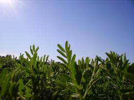 La lenteja verde