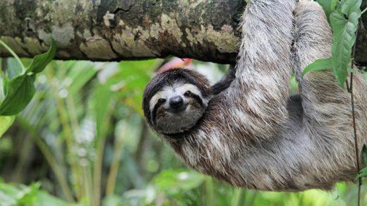 En las partes rurales de Costa Rica es posible encontrarse con un oso perezoso