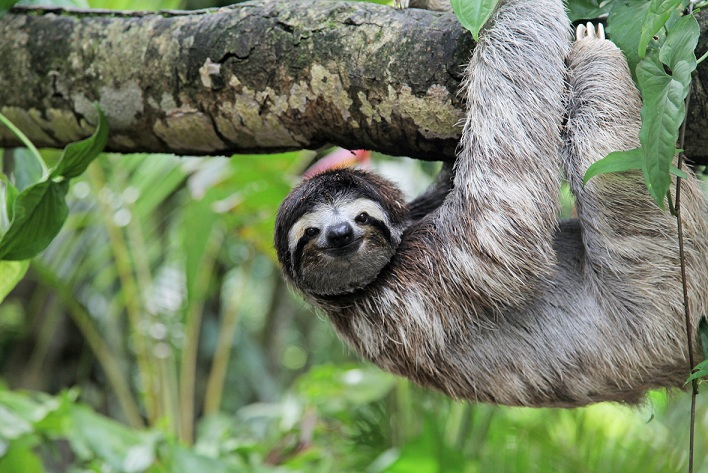 Pura Vida: En las partes rurales de Costa Rica es posible encontrarse con un oso perezoso